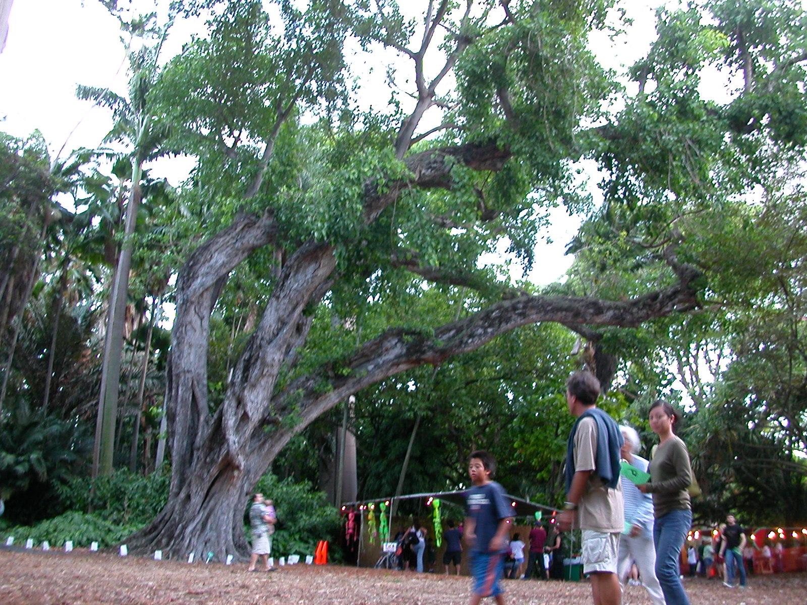 Superbe Baobab In Foster Botanical Garden, Downtown Honolulu